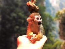 Den lyckliga lilla apan i den dalta zoo sitter på människan gömma i handflatan arkivbilder