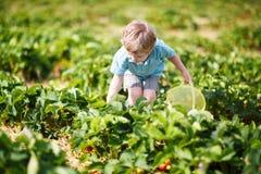 Den lyckliga lilla litet barnpojken väljer på jordgubbar för en bärlantgårdplockning Royaltyfri Fotografi