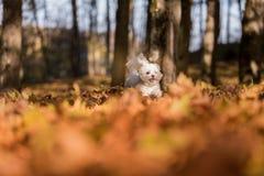 Den lyckliga maltesiska hunden kör på Autumn Leaves Ground Öppna M arkivfoton