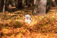 Den lyckliga maltesiska hunden kör på Autumn Leaves Ground Arkivbild