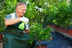 Den lyckliga mannen, trädgårdsmästare cares för citrusa växter Royaltyfri Fotografi