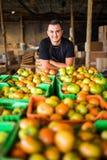 Den lyckliga organiska bonden över tomater boxas i lagring för prepa Royaltyfri Foto