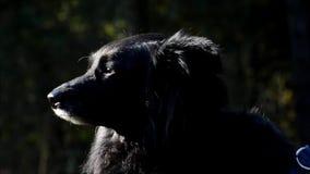 Den lyckliga svarta hunden i folk` s parkerar Volkspark Rehberge i Berlin-bröllop, Tyskland arkivfilmer