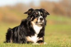 Den lydiga hunden ligger i en äng och ser framlänges royaltyfria bilder