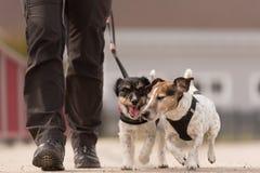 Den lydiga hundkappl?pningen g?r p? en koppel med deras ?gare i byn - gulliga Jack Russell Terriers arkivbild