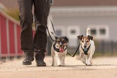 Den lydiga hundkappl?pningen g?r p? en koppel med deras ?gare i byn - gulliga Jack Russell Terriers arkivfoto