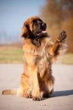 Den lyftta Leonberger hundståenden tafsar Arkivfoto