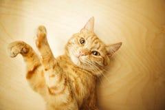 Den lyftta röda katten tafsar upp ståendenärbild på träbakgrund Arkivbild