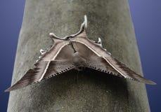 Den Lyssa zampafjärilen sitter på en svart pol & x28; Sumatra Indonesia& x29; Arkivfoton