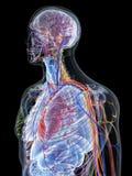 den mänskliga anatomin royaltyfri illustrationer
