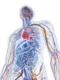 den mänskliga anatomin vektor illustrationer