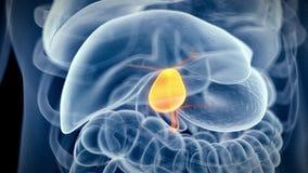 Den mänskliga gallbladderen