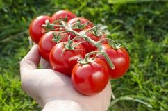 Den mänskliga handen håller tomater royaltyfri bild