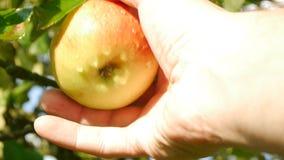 Den mänskliga handen väljer ett äpple från äppleträd lager videofilmer