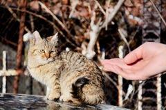 Den mänskliga handsmekningen behandla som ett barn den utomhus- katten Arkivfoto