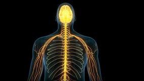 Den mänskliga hjärnan royaltyfri illustrationer