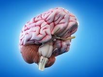 Den mänskliga hjärnan vektor illustrationer