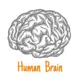 Den mänskliga hjärnan skissar symbol i gråa färger Arkivfoton