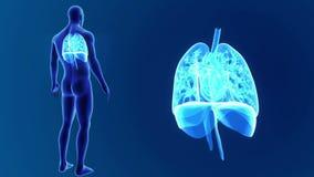 Den mänskliga hjärta, lungor och membranen zoomar med kroppen lager videofilmer