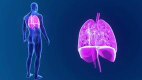 Den mänskliga hjärta, lungor och membranen zoomar med organ och det cirkulations- systemet lager videofilmer