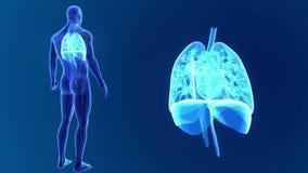 Den mänskliga hjärta, lungor och membranen zoomar med organ och det cirkulations- systemet arkivfilmer