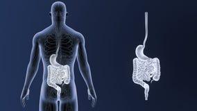 Den mänskliga magen och inälvan zoomar med det cirkulations- systemet stock video