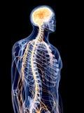 Den mänskliga nervsystemet vektor illustrationer