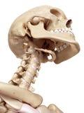 Den mänskliga skallen och halsen stock illustrationer