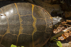 Den målade sköldpaddan som går i träsk på nordvästligt, parkerar, Windsor, anslutning Arkivfoton