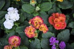 Den mång- färgade vårprimulan blommar i blom med ryschiga kronblad Fotografering för Bildbyråer