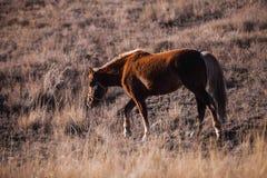 Den mörka kastanjebruna hästen går på en backe Arkivbild