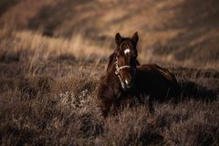 Den mörka kastanjebruna hästen sitter på ett backegräs Royaltyfria Foton
