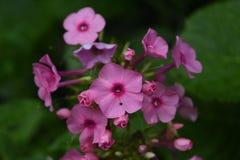 Den mörka rosa floxblomman blomstrar i en trädgård Arkivbilder