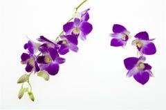 Den mörka rosa orkidén blommar på vit bakgrund Royaltyfria Bilder