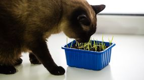Den mörka Siamese katten äter grönt gräs i en behållare på fönsterbrädan royaltyfri fotografi