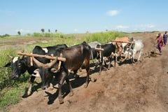 Den Maasai plogen drar selet av sex bufflar Royaltyfri Bild