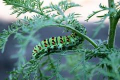 Den Machaon larven sitter p? en gr?n stj?lk royaltyfri bild