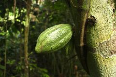 Den Madidi för kakaoträd nationalparken arkivbild