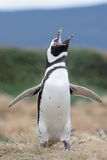 Den Magellan pingvinet flaps dess vingar. Royaltyfri Bild