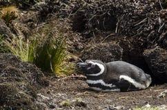 Den Magellanic pingvinet Royaltyfria Bilder