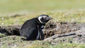 Den Magellanic pingvinet sitter i en korridor. Royaltyfri Foto