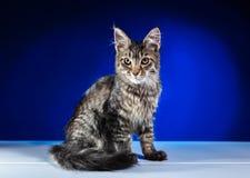 Den Maine Coon kattungen sitter och ser framåtriktat Arkivfoton