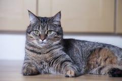 Den majestätiska katten ligger på golvet i lägenheten Arkivfoton