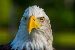 Den majestätiska skalliga Eagle Arkivbilder