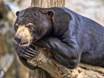 Den Malayan solbjörnen, den Helarctos malayanusen, har jättelika jordluckrare på dess främre ben arkivfoton