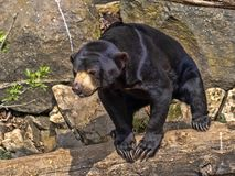 Den Malayan solbjörnen, den Helarctos malayanusen, klättrar stammen arkivfoto
