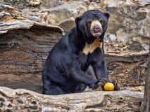 Den Malayan solbjörnen, den Helarctos malayanusen, klättrar stammen royaltyfri fotografi