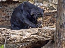 Den Malayan solbjörnen, den Helarctos malayanusen, klättrar stammen arkivfoton