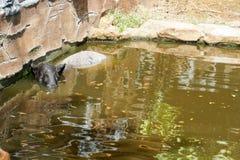 Den Malayan tapir (Tapirusindicus), kallade den asiatiska tapir, är också det störst av den fem arten av tapir och den enda royaltyfri foto