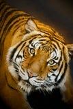 Den Malayan tigern stirrar fast beslutsamt, medan vila i grund pöl Royaltyfri Foto